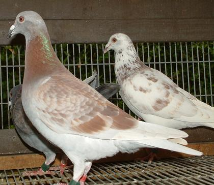 gurnay pigeons club