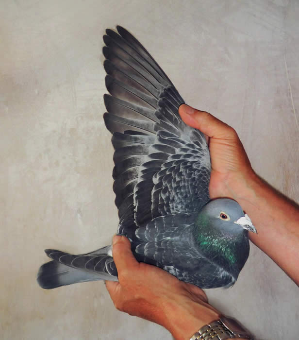 pigeons at daybreak Pigeons at daybreak by anita desai present by: kasturi rajagopal nanthini subramaniam 'you will manage and he is angry with his wife despite ignorance and rebukebasu she still tries her best to help him.