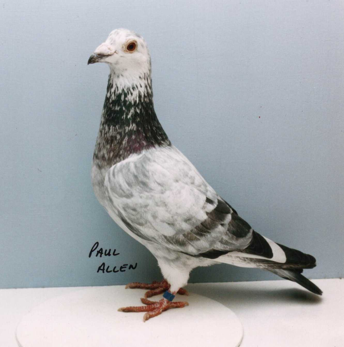 Articles Elimar Pigeons Autos Post