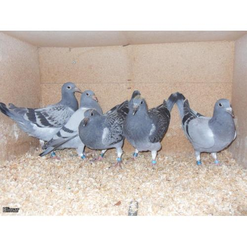Lovely Kit of 5  Van den Bulck / Pitbull young birds
