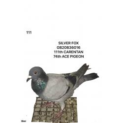 "Blue Hen 20B36016 ""Silver Fox""  74th Ace Pigeon overall 111th Carentan"