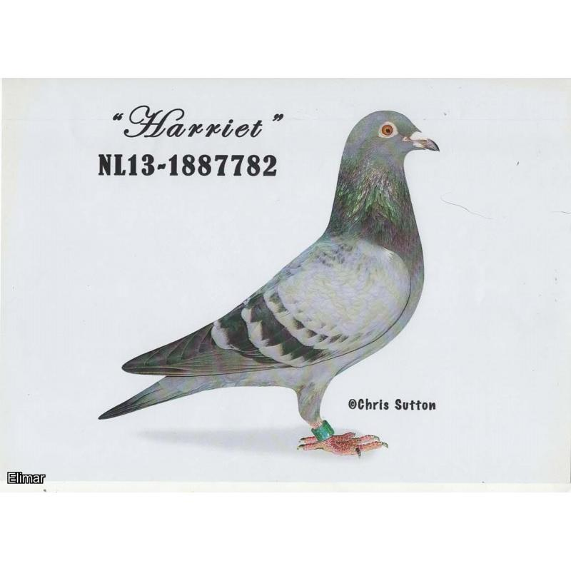 Blue Cheq Hen HARRIET NL13-1867782 Incredible G.Daughter of HARRY, MR BLUE and the 250,000 icon DOLCE VITA