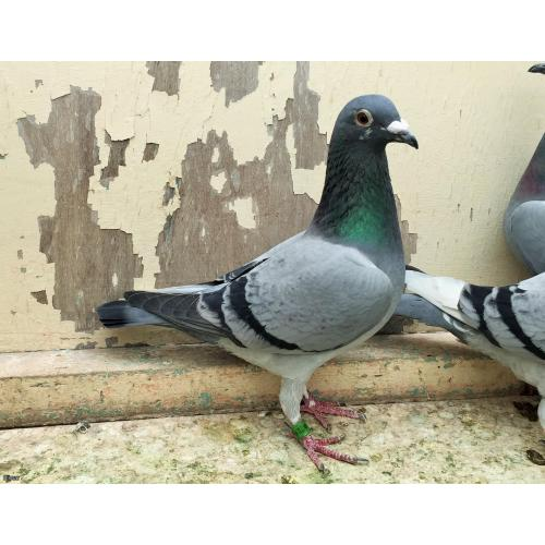 "T Owen Bereavement Sale Lot 28 Blue Hen 18F35312 Highly Promising Racer/Breeder Direct from ""The No.1 Pair"""