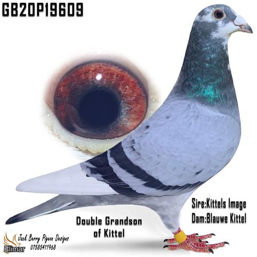 "GB20P19609 Blue Pied Cock magnificent pigeon as good as any on offer, a double g-s of ""Kittel"" Offered by Bosliven Lofts. Video added"
