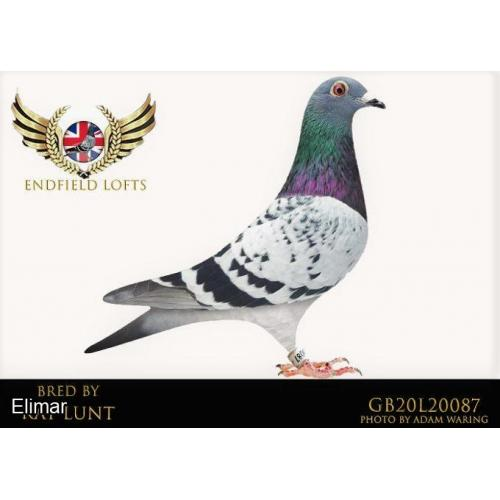 "GB20L20087 Chequer Hen sister to winners with club, fed National pigeons in the breeding. From a bro to ""Olympic Angelina"" 2nd Dutch Olympiade ETC."