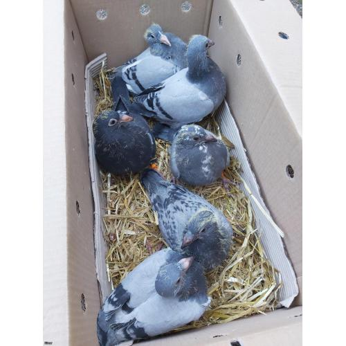 Kit of 6 young birds - mixture of hereman ceusters and gust jansens