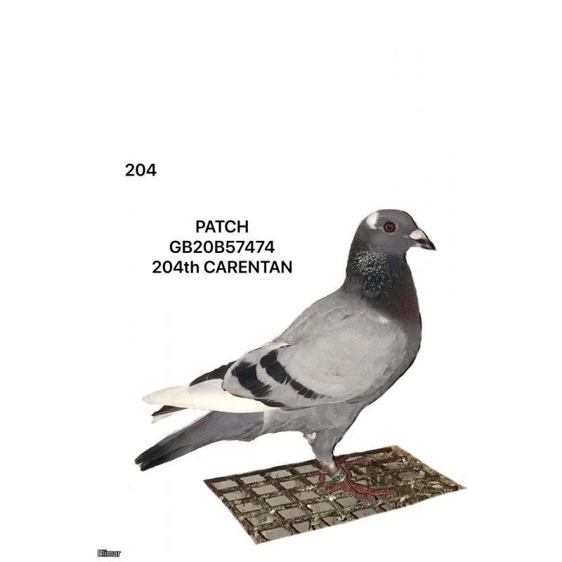 "DO NOT BID - PIGEON NOT AVAILABLE - Blue Pied Hen 20B57474 ""Patch""  204th place Carentan"