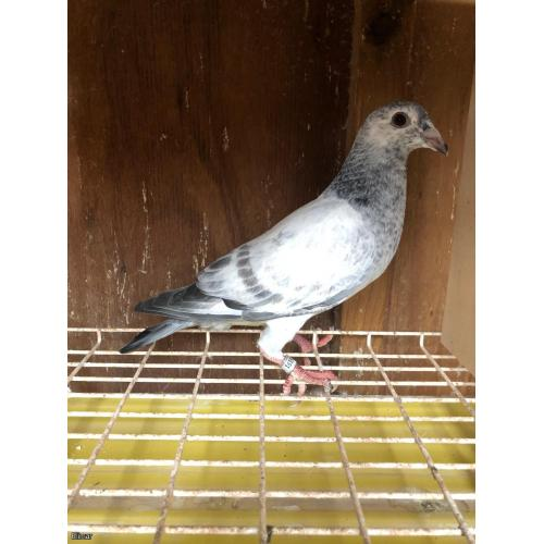 *MAY PIGEONS EXCLUSIVE* BRED FROM DIRECT PITBULL STOCK!