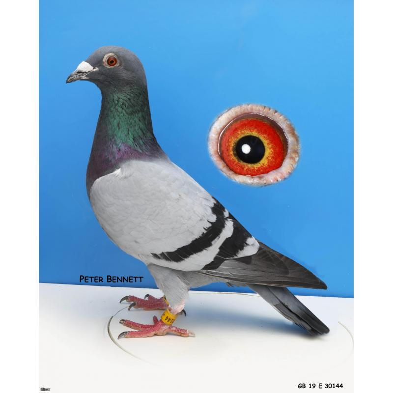"SHORTLIST! Blue Cock 19E30144 Direct from ""STAR"" 1st Section 3rd Open MNFC Carentan 3,434 birds"