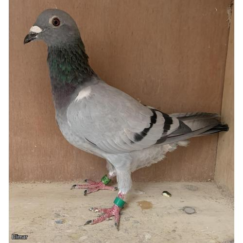 "GB18P33823 Blue Hen g-d of ""Jackpot"" & ""De Power"" son of ""Olympiade 003"" lines behind many of today's top pigeons. Now + VIDEO"