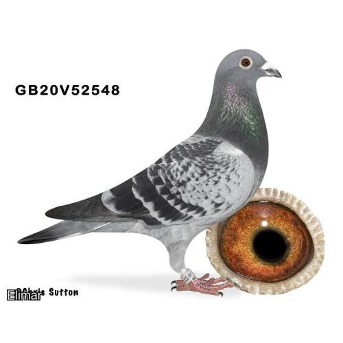 "GB20V52548 Chequer Hen bred on both sides to ""Kittel"" & Sagan"""