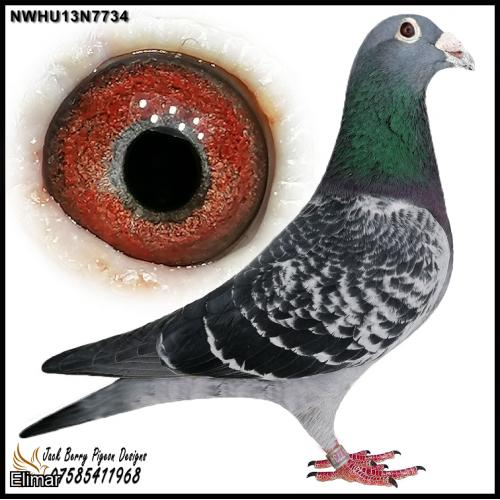 "NWHU13N7734 Chequer Cock from a double g-s of ""Topstar"" 1st National Cahors & 1st National Ace Pigeon. Real quality Long Distance."