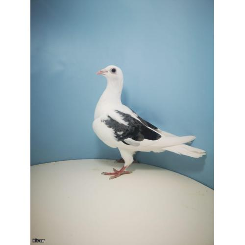 Gay Pied Hen 20X20743 Bred from DIRECT Dirk Van Den Bulcks