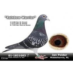 Dark Hen 18N02102 Inbred to the very BEST Jan Polder pigeons. There's some right tackle here!