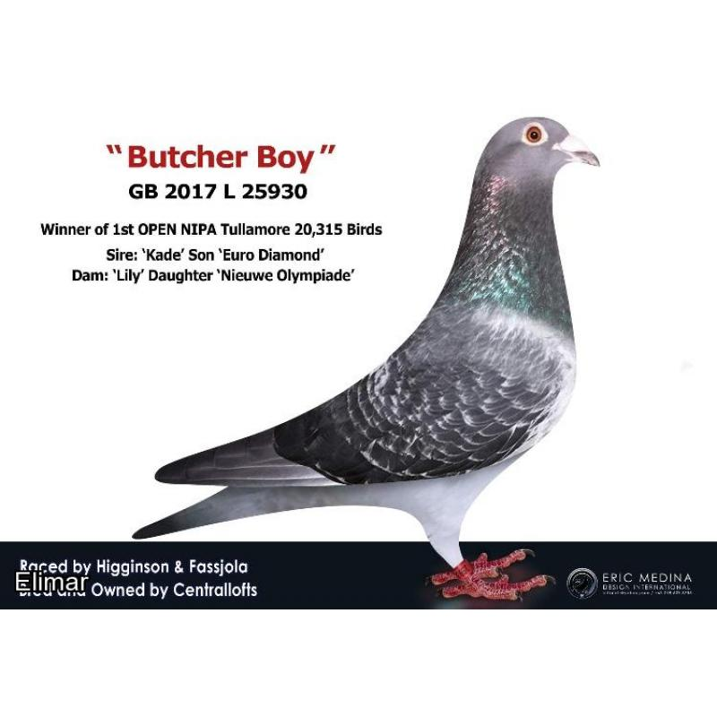 Blue Hen 20B22878 Direct Son of BUTCHER BOY (1st Open 20,315 birds) when paired to CLASS ACT - Aptly named Van Loon Hen. Her G.Sire won 5 x 1st clubs and 3 x 1st Fed's!