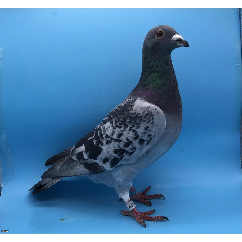 *MAY PIGEONS EXCLUSIVE* CRACKING COCK BRED FROM DIRECT PITBULL STOCK! FROM NESTBROTHER CHAMPION GRIZZLY SPEED X FULL SISTER TO THE FAMOUS DEN TORNADO