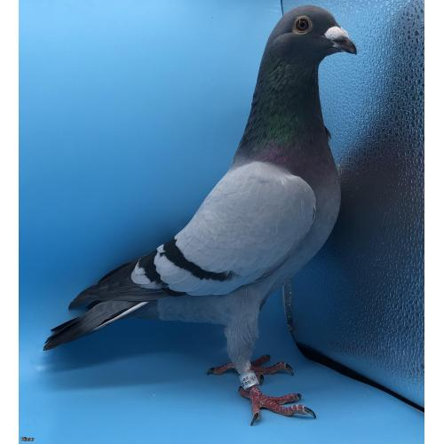 *MAY PIGEONS EXCLUSIVE* CRACKING COCK BRED FROM DIRECT PITBULL STOCK! FULL BROTHER TO 1ST FEDERATION 2020 FOR A STONER & SON (THREE BORDERS FEDERATION)!