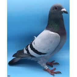 *MAY PIGEONS EXCLUSIVE* STUNNING COCK BRED FROM DIRECT PITBULL STOCK! BROTHER BRED 1ST FEDERATION 2147 BIRDS!