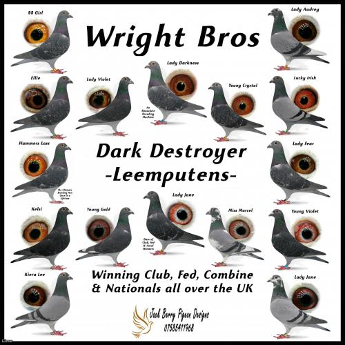 KIt of 6 x Van Leemputten 2021 YB - Bred by Watkins/Wright Bros Direct from the Stock Birds in Doncaster. These lads are the UK No.1 for these!
