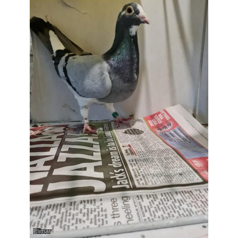Blue Pied Hen 13Z83352 Dam of winners. Sire won 1st Wolverhampton Fed 4,000 + birds