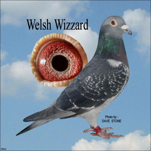 *** Welsh Wizzard ***  GB 17 Z 14800 - Dark Cheq Cock - *** Wilf Reed Distance Bloodlines at it's BEST ***