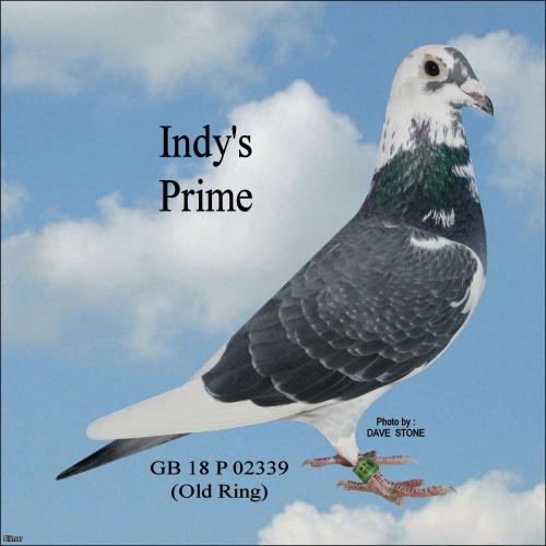 "INDY'S PRIME - DOUBLE G.SON OF ""CHAMPION INDY"" – DISTANCE MEN YOU CAN'T GO PAST THIS ONE!!!!!"