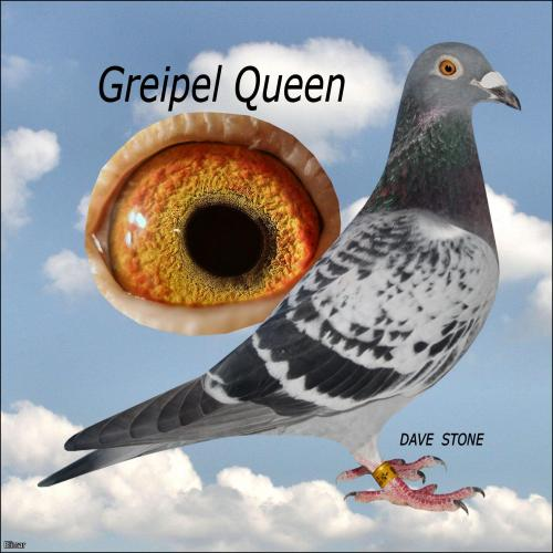 *** Greipel Queen *** - Young Hen, already bred 2nd Fed (beaten by loft-mate, arrived together) + free cock to go with her
