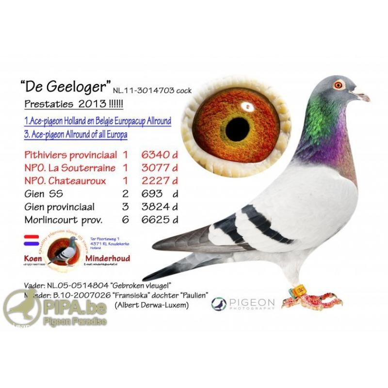 "Cheq Cock 17E21253. Sire is direct from ""GEELOOGER"" 1st 6,340, 1st 3,077, 1st 2,227 birds. Dam is direct from ""ANTONIO"" 1st National 7,756 birds. + FREEBIE!"