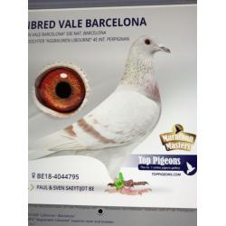 "Mealy Hen B18-4044795 Bred by Paul and Sven Saeytijdt. Double G-Daughter of the outstanding ""VALE BARCELONA"""