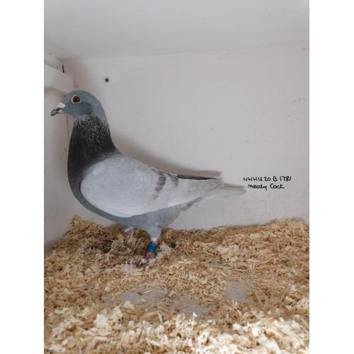 THIS BIRD IS TOP DRAW BRED FROM SOME OF THE BEST STEFAAN LAMBRECHTS, SURE TO BRED THE GOODS.