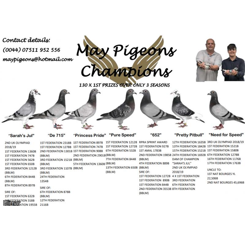 *MAY PIGEONS EXCLUSIVE* DIRECT DAUGHTER OF TWO OF THE BEST PITBULL RACERS EVER, OLYMPIC NEED FOR SPEED X CHAMPION PURE SPEED