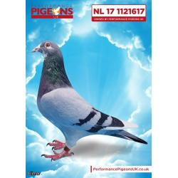 WOW! Blue Pied Cock NL17-1121617 DOUBLE G.SON of the Gaby Icon RUDY. What an offer this is
