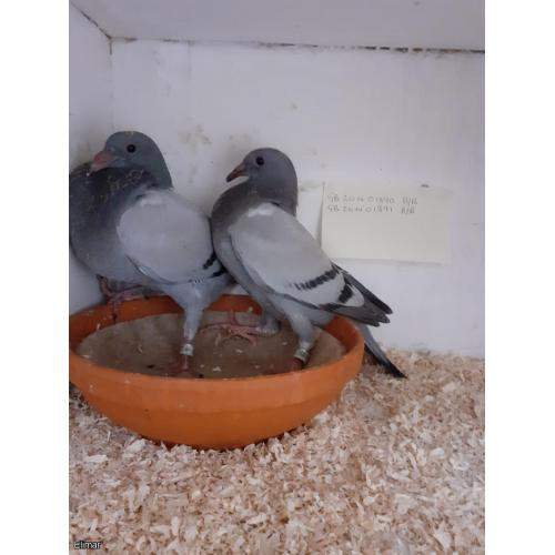 2 YOUNG BIRDS OFF SWEET MESSI DAM OF SOME TOP CLASS PIGEONS J, WHEATCROFT X M COLLINS,