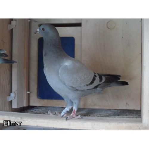SUPER HEREMANS CEUSTERS/ BOONEN NAT ACE PIGEON YOUNGSTER