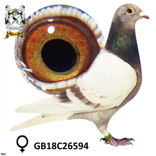 Stickers Donckers sister of 3rd open NIPA 15,559 birds