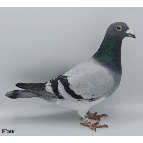 ***Son of Double Ace Pigeon X Ace Pigeon!*** Direct Ronny De Dobbelaer Pencil Blue Cock Lot 6 **IN UK**