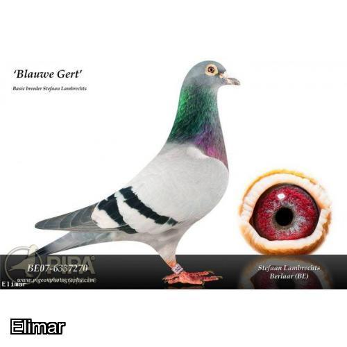 ELIMAR EXCLUSIVE!!!  2 x Inbred G-Children of Gert Heylen's Mighty JACKPOT cock offered from Red Hill Farm Lofts.