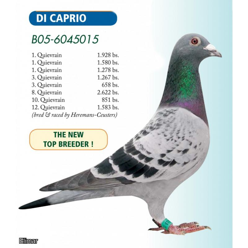 "GB20P19285 Dark Chequer Cock bred and offered by Bosliven Lofts & is a g-s of ""Jackpot"" Updated with Video"