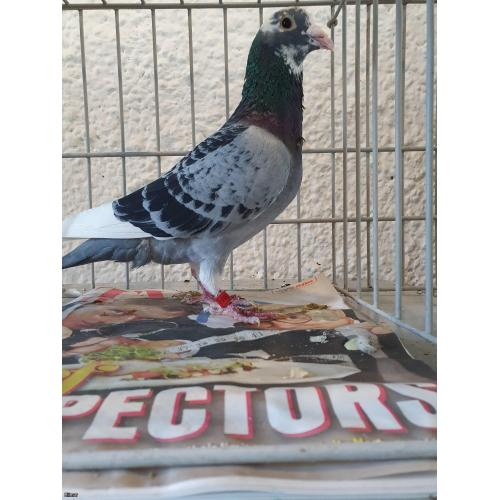"PITBULL ALERT! Cheq Pied Cock B17-6215152. Direct Yves De Wit. The Mother is DIRECT from ""PITBULL"" himself!"