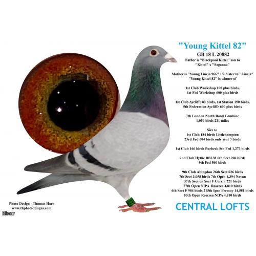 Blue Pied Cock 20L23452 Direct from YOUNG KITTEL 82 the 1st Fed winning son of BLACKPOOL KITTEL x New Breeder PROUD