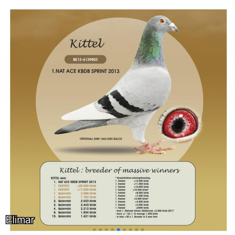 *UPDATED* Cheq Hen 20V10136 Nest-mate won 1st 2nd and 3rd Club, 8th Fed 1,536 birds. KITTEL x Super Gaby Bloodlines