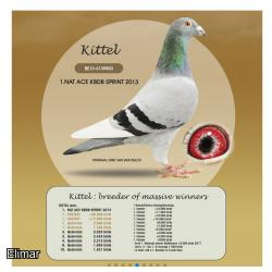 Blue Pied Hen KITTEL 994 20V20994 Super G.Daughter of ZWARTE PITBULL and RAMBO. Superstar bloodlines