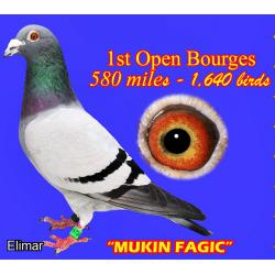 MAGIC!!  Blue Hen 20AP2282 Direct from the FATHER of MUKIN FAGIC x Daughter of MUKIN FAGIC. It's sublime!