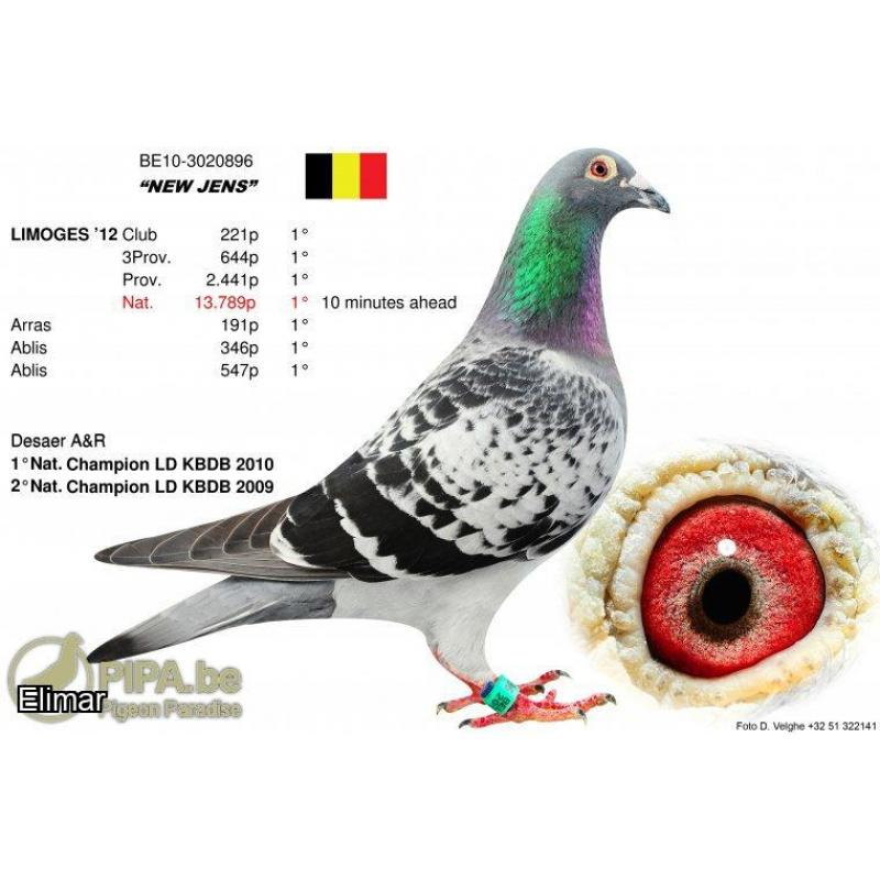 Awesome De Seare! Cheq Cock 20AP2234 G.Son of Belgium's absolute ELITE National winnng bloodlines!
