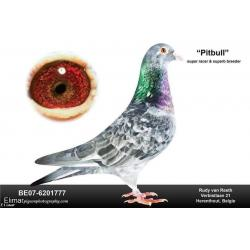 RUDY 7 -  Mealy Hen SUPER MEALY 925  B19-6096925 Direct Van Reeth. Bred winners. G.Daughter of SUPER SPRINT 980