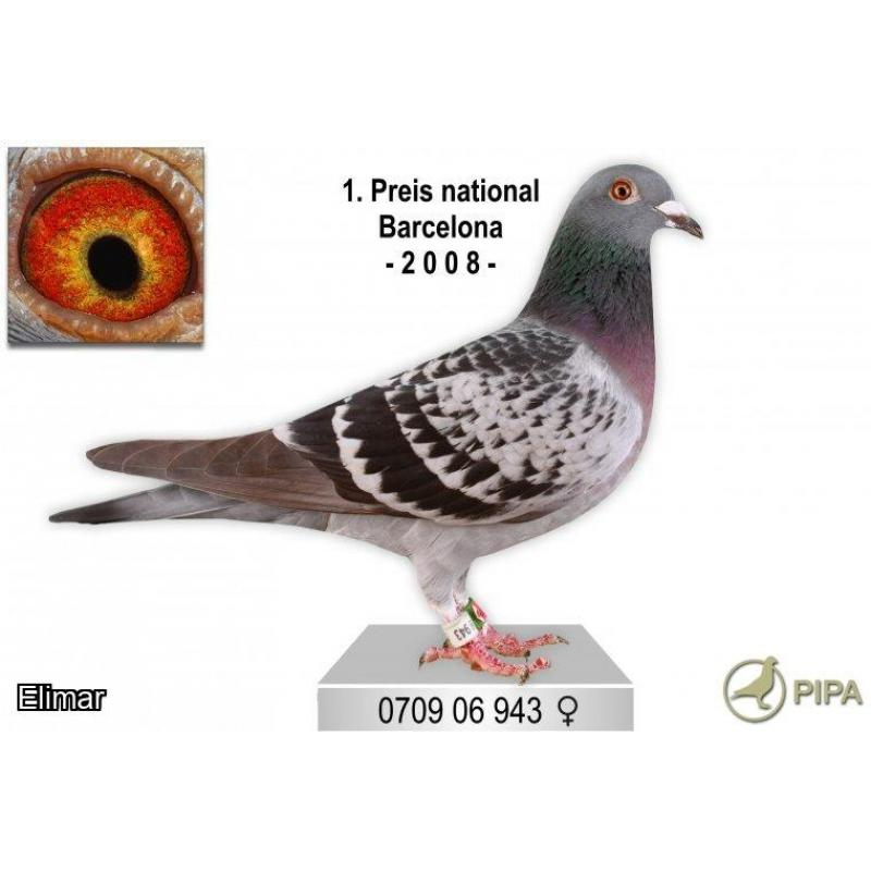 D709-13-819 Red Cock super pigeon great breeding including 1st National and 1st International winners, a quality pigeon.